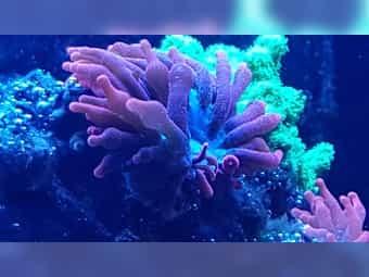 Kupferanemone Meerwasser Korallen