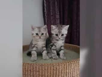 Rassekatzenbabys Whiskaskatzen
