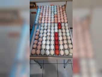 Bruteier Hühner Perlhühner Puten vielseitigste