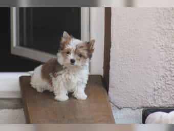 Yorkshire Terrier Online Kaufen Oder Verkaufen Deinetierwelt
