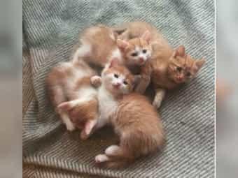 Sibirische Waldkatze- Main Coon-Mix Kitten