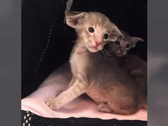 Orientalisch Kurzhaar Kitten OKH gesund