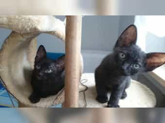 Sphinx Velour-Brush Babykatzen suchen neues