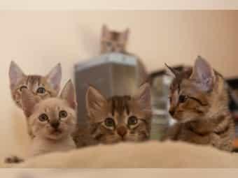 Bengal Siam Mix 5 Kitten