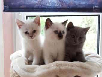 Neva Masquarade BKH Mix Kätzchen