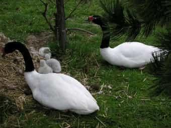 Wasserziergeflügel Schwäne Säger Enten Gänse