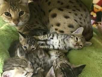 Wunderschöne Savannah Kitten F3 C