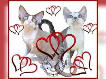 Devon Rex Kitten vom Gaborland