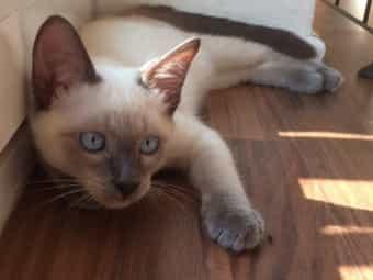 Zauberhafte Siam Kitten