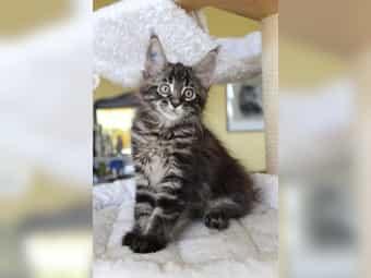 Tolle Maine Coon Kätzchen suchen
