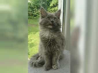 Reinrassiges Maine-Coon-Katzenbaby Coonie-Kitten Tortie Mädchen