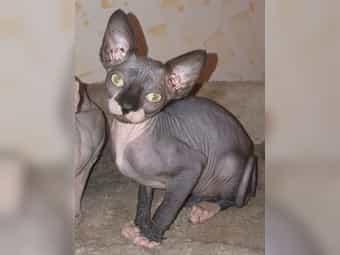 Sphynx Kitten weiblich und männlich