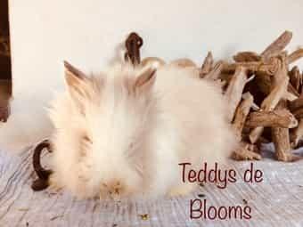 Süße Minimaus Teddy-Zwergkaninchen Teddyzwerg-Kaninchen Hase
