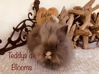 Herzensbrecher Teddyzwerg-Kaninchen Teddy-Zwergkanimchen Hase