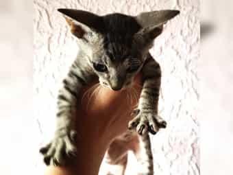 Sphynx Russisch Blau Mix Kitten
