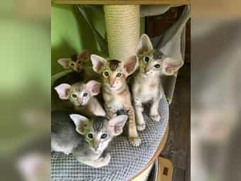 Bezaubernde OKH kitten seltene Farben