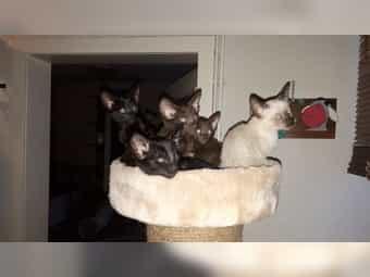 Orientalisch Kurzhaar Kitten Mama OKH