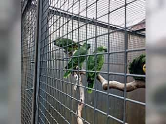 2 Blaustirn Amazonen Naturbrut von