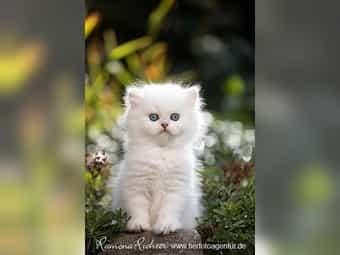 Edle Britisch Langhaar Kitten mit