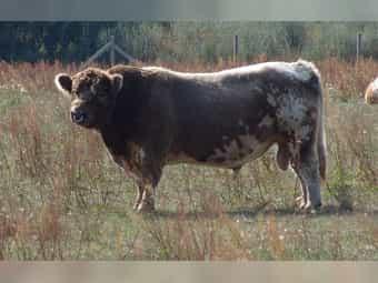 Galloway Zuchtbulle in dun rigget