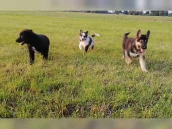 Husky × Australian Shepherd Mix