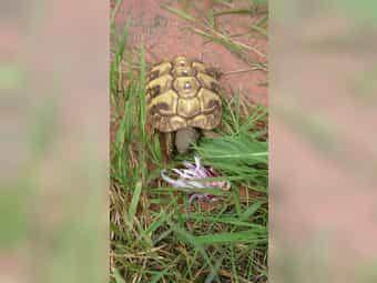 Junge griechische Landschildkröten aus 2018