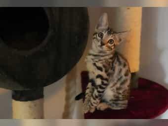 Noch zwei kleine Bengal Kitten