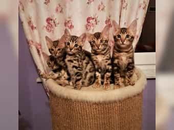 Wunderschöne Bengal Kitten Bengalkatzen - Aus