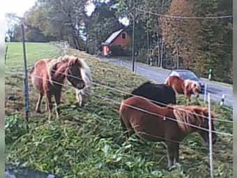 Ponys zu verkaufen