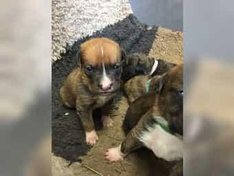 Boxer Schweizer Sennenhund Welpen