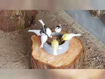 Junge Kanarien belgische Wasserschläger