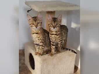 Wunderschöne Bengal-Kitten