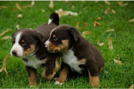 Appenzeller Sennenhund Im Tiermarkt Von Deinetierwelt