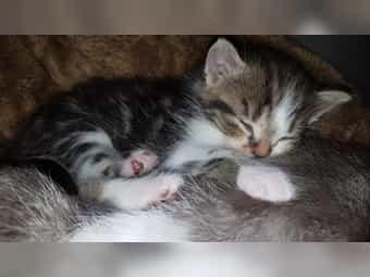 Katze persische