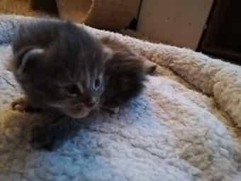Süße Main Coon Kitten suchen