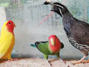 Kanarienvögel versch Farben
