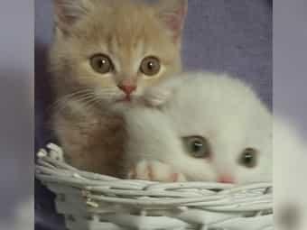 Scottish-fold Zuckersüße Kitten