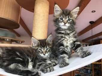 2 entzückende Maine Coon Kitten