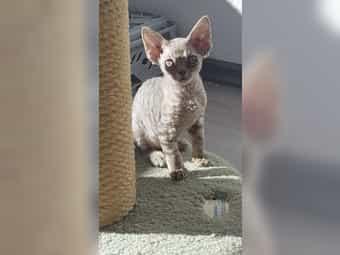 Reinrassige Devon Rex Kätzchen sucht