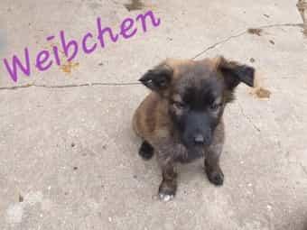Verkaufe Schäferhund-Mix Welpen