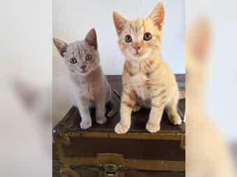 Scottish fold kitten scottish straight
