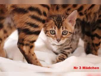 Bengal Kitten Junge Mädchen Katze