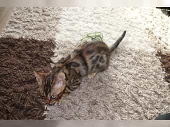 Bengal Kitten der Extraklasse