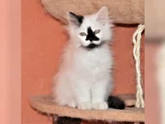 British Langhaar Kitten zu verk