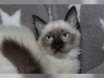 Bezaubernde Ragdoll Kitten m w