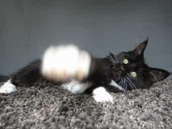 Wunderschöne typvolle Maine Coon Kitten