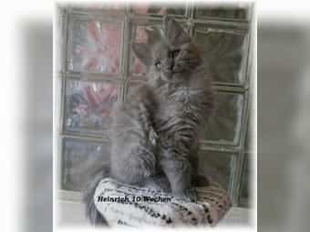 Maine Coon Kitten blue-smoke Kater