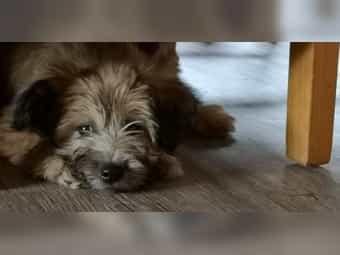 Super süsse Mischlingswelpen Bolonka - Skye-Terrier