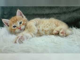 Main Coon mix Kitten