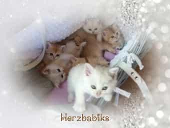Reinrassige BKH Kitten zum verlieben